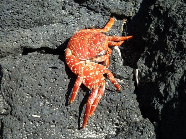 Colorful Galapagos crab on vesicular basalt